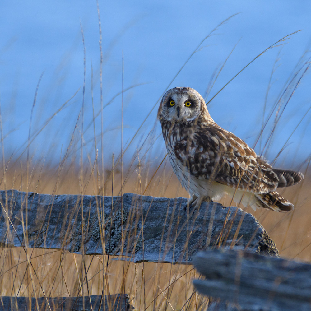 Engle short eared owl on fence photo vqrf87