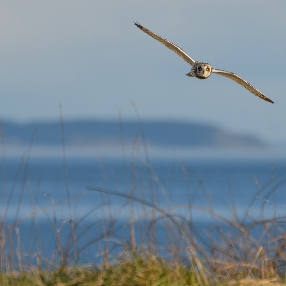 Engle short eared owl in flight photo txacfu