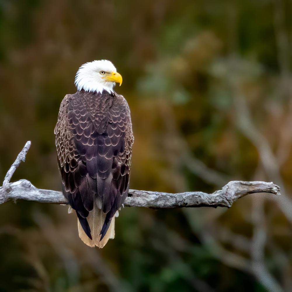Bald eagle on a limb injtfh