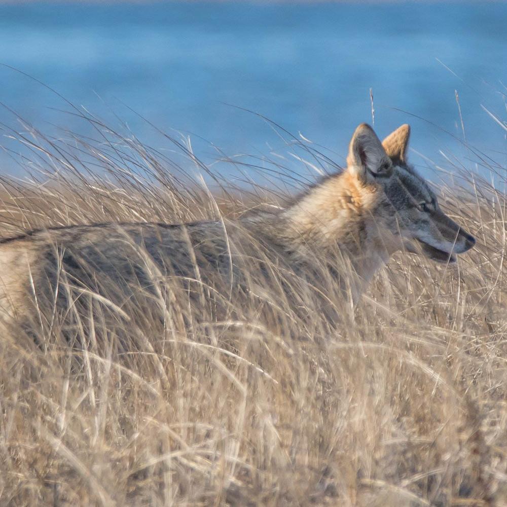 Coyote in the dunes copy yf9jcm