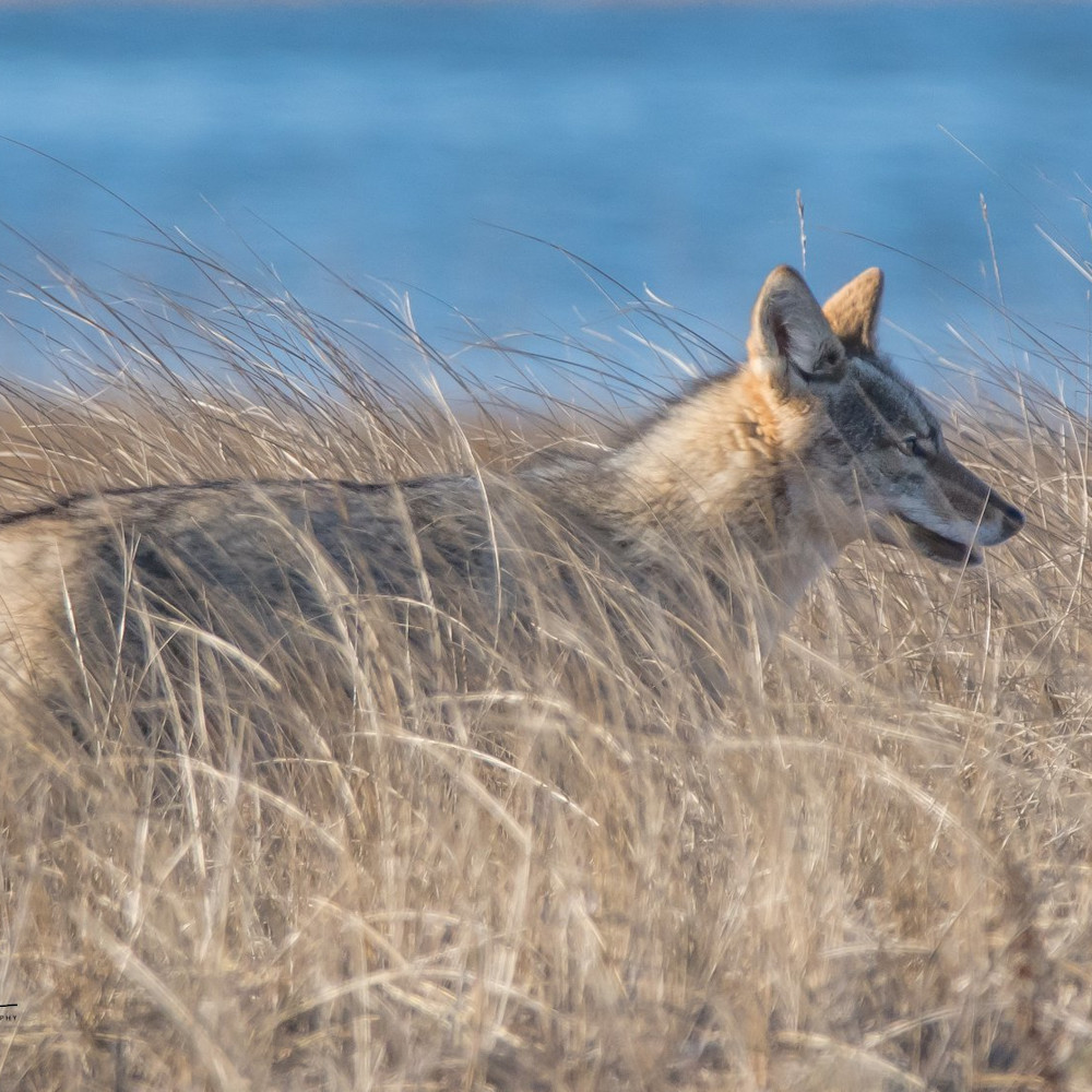 Coyote in the dunes copy 2 rrqs5i