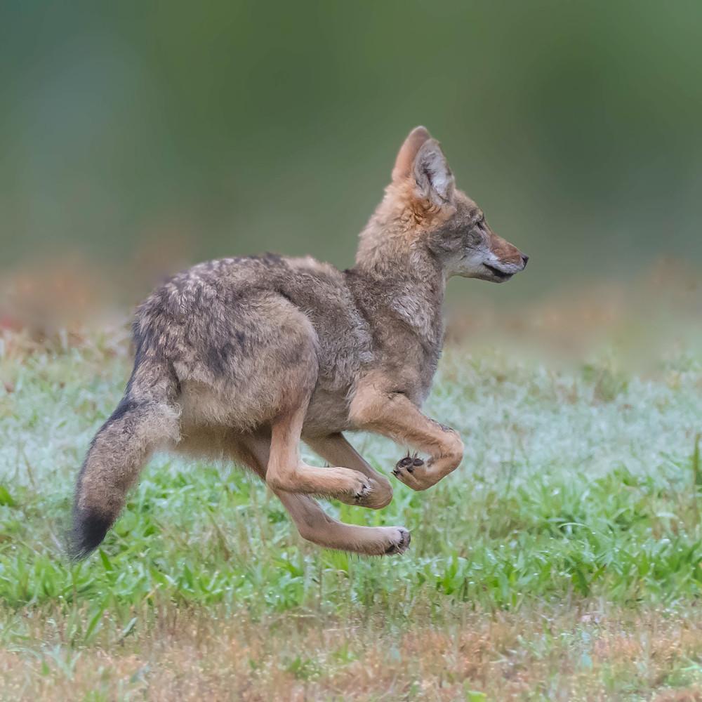 Young coyote copy jcyupk