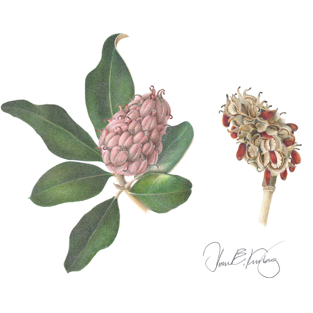 Seed pods magnolia grandiflora srgb signed tzq8ez