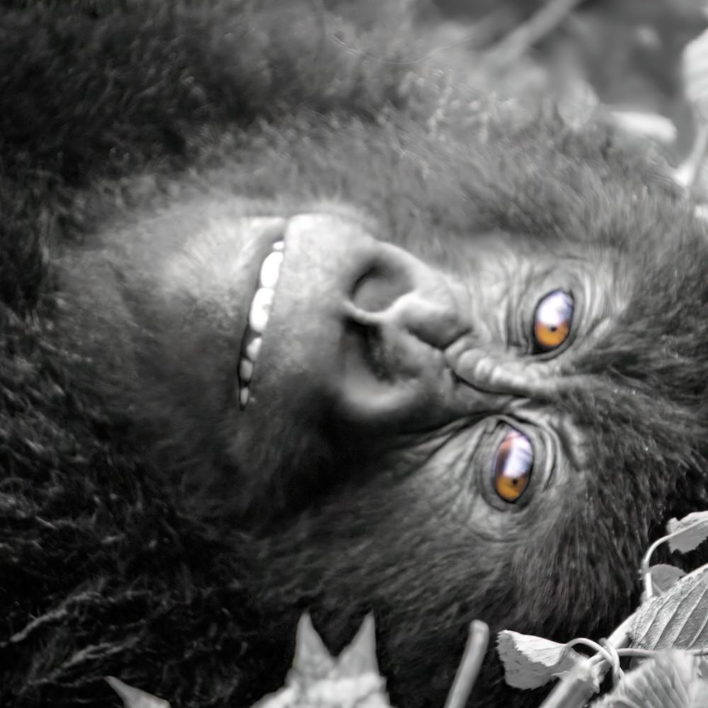 Reclining female gorilla rwanda b w 001 dsc3066 sharpen sharpen verycompressed width 5400px gigapixel stwqs0