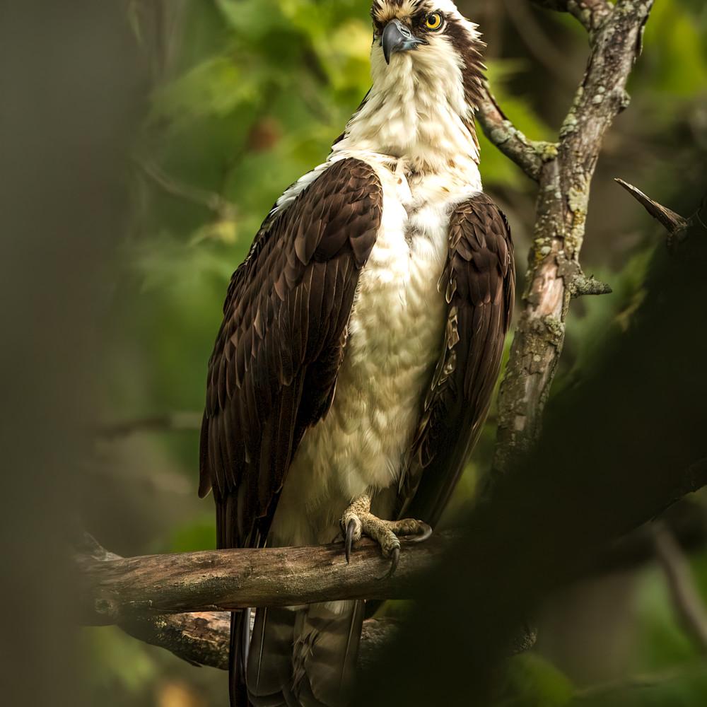 Male osprey through branches 1 of 1 zozryz