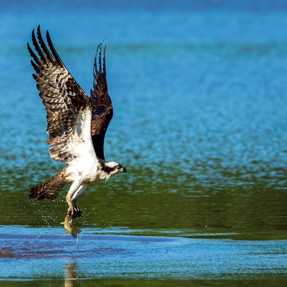 Osprey catches breakfast 1 of 1 cky8rl