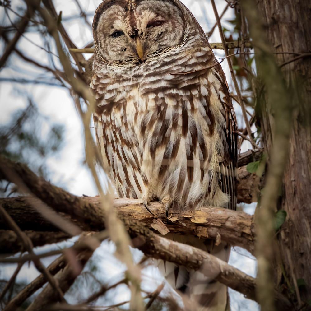 Perched barred owl at huntley meadows lqz2gr