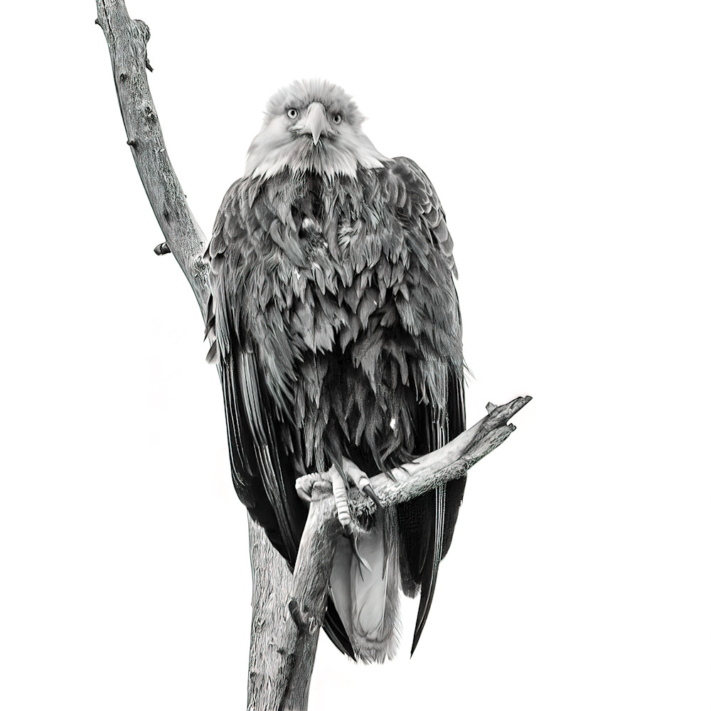Bald eagle in b w square 1 of 1 qgtipk