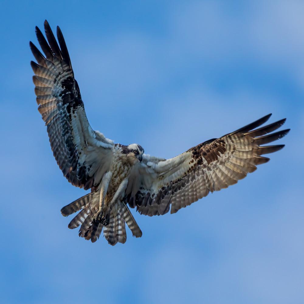 Female osprey hovering over marsh 1 of 1 tytdb6