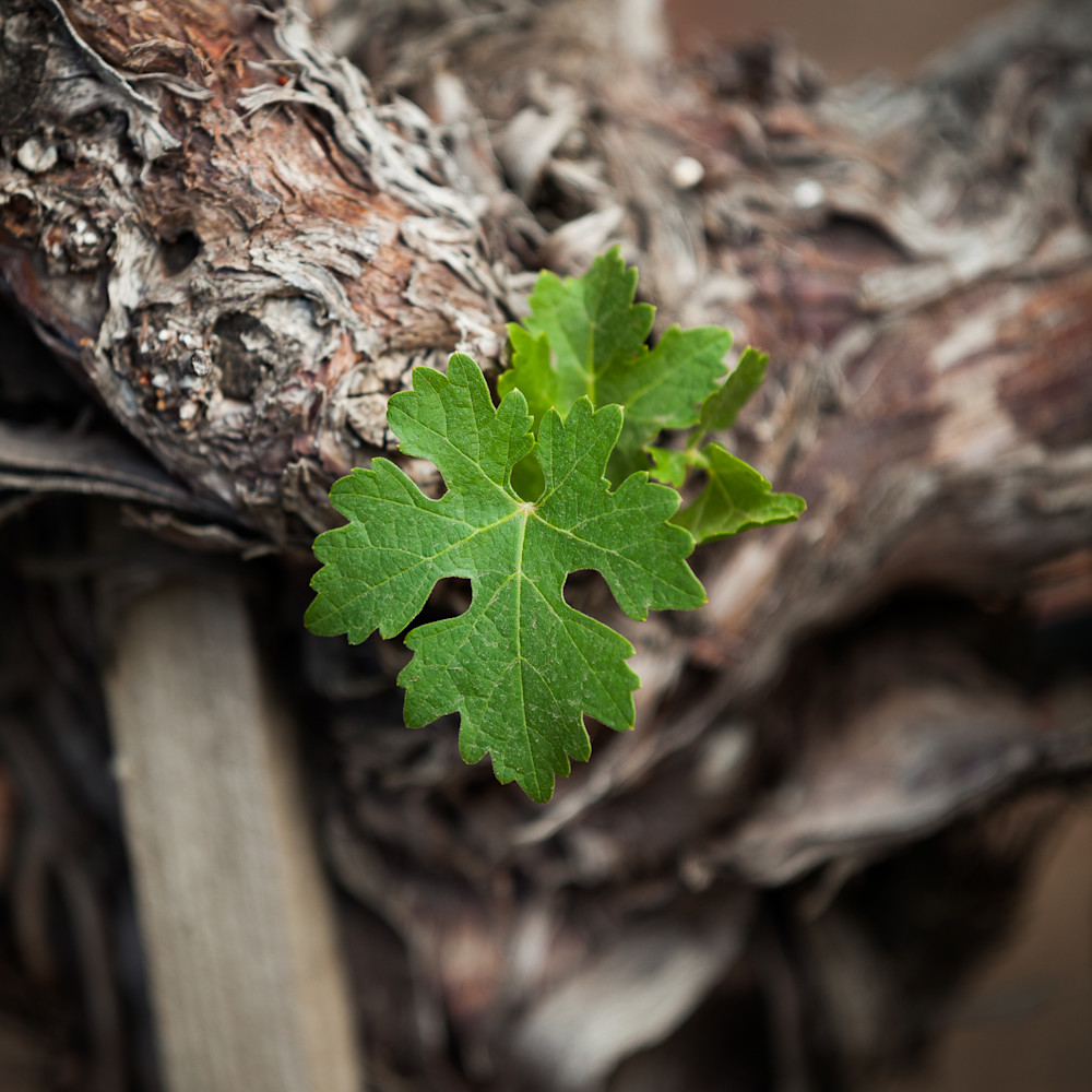 New growth of grape leaves 7552 d7fq6f