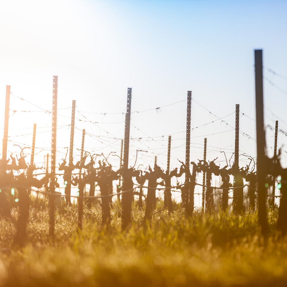 Sun warmed winter vines 6885 djcbzo