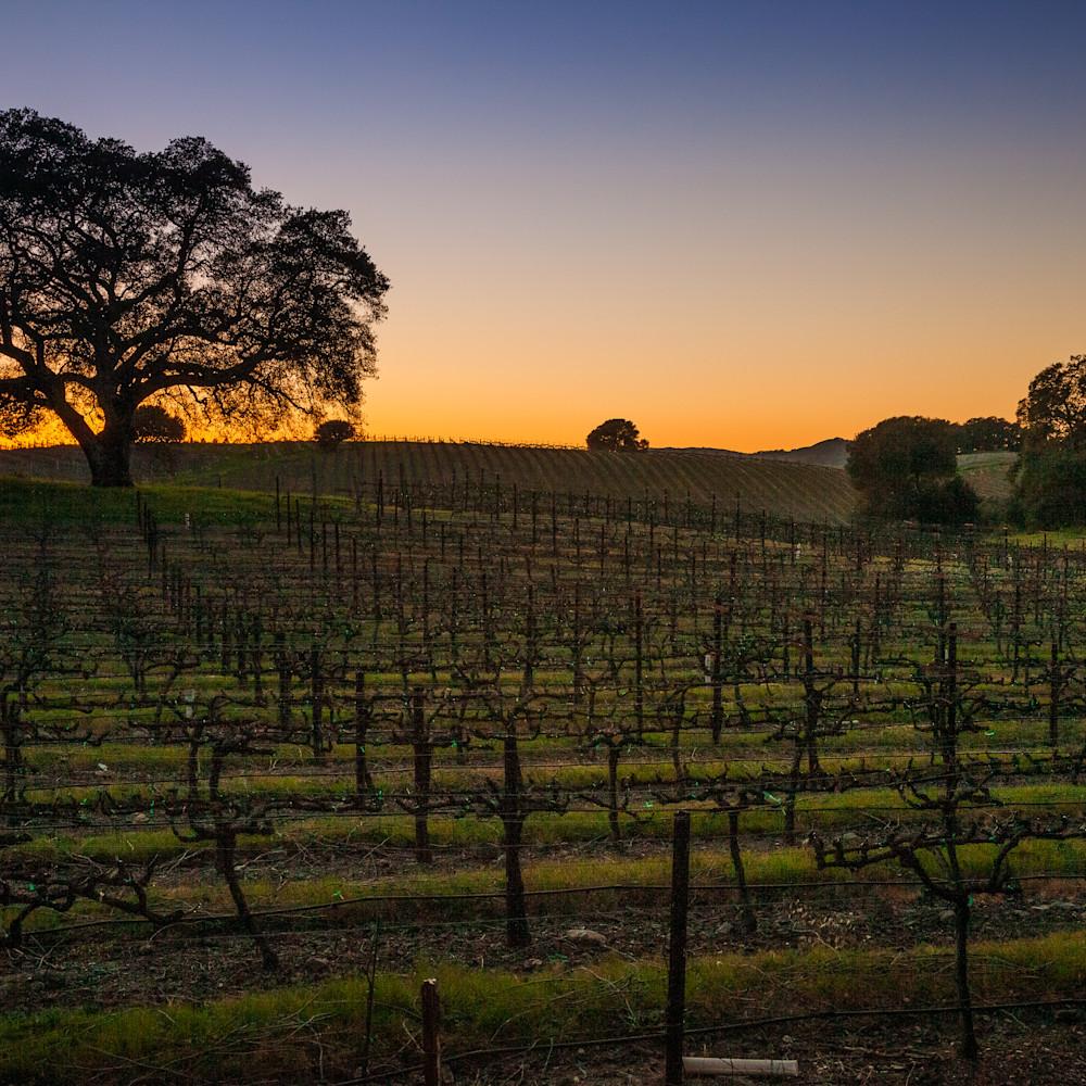 Tree silhouette in vineyard at twilight 3011 ahlgwo