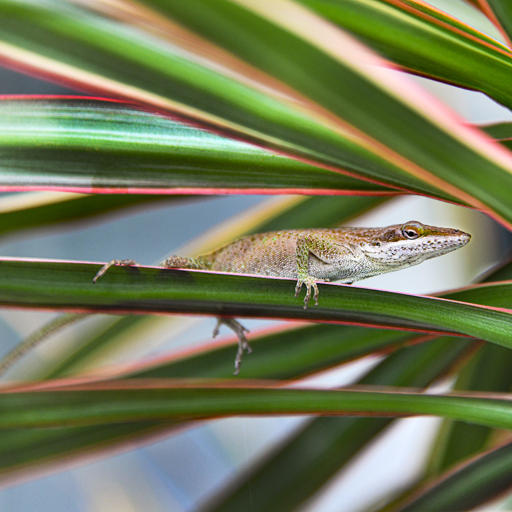 Brown anoles 1 bwj35s