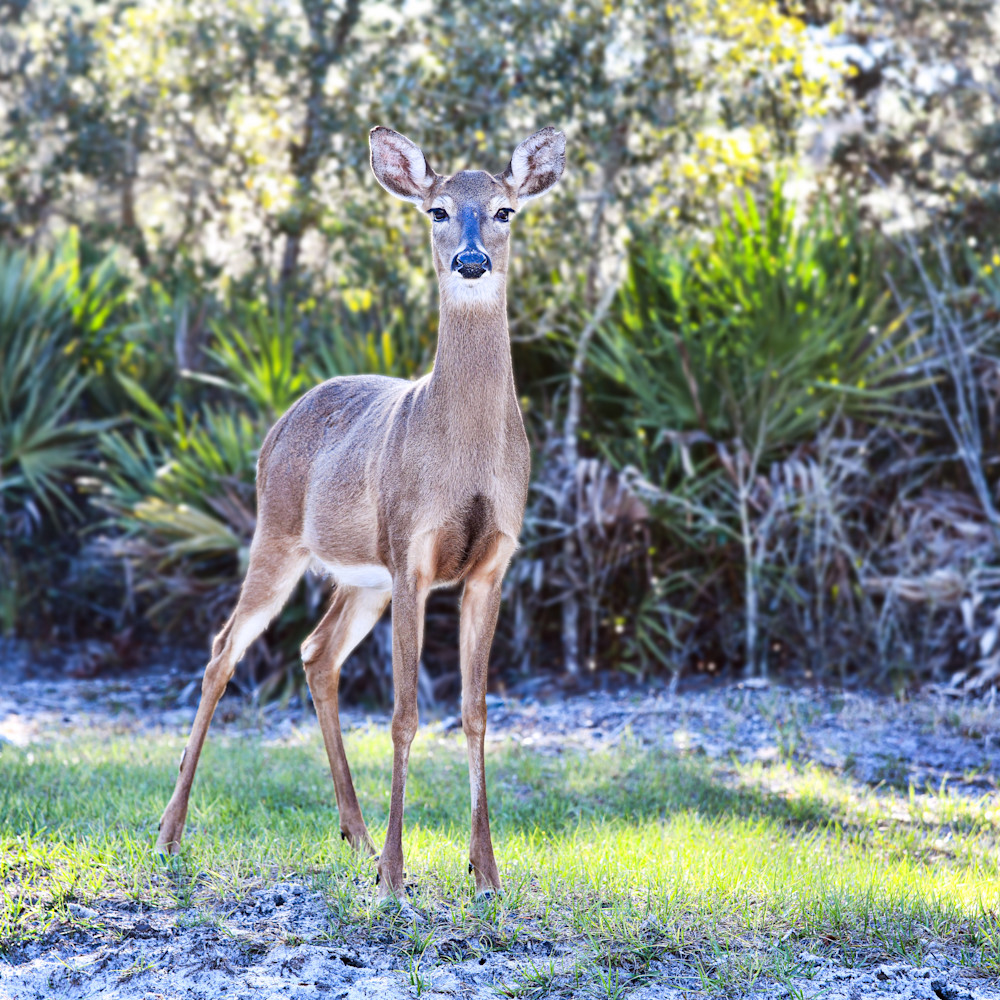 White tailed deer kazflm