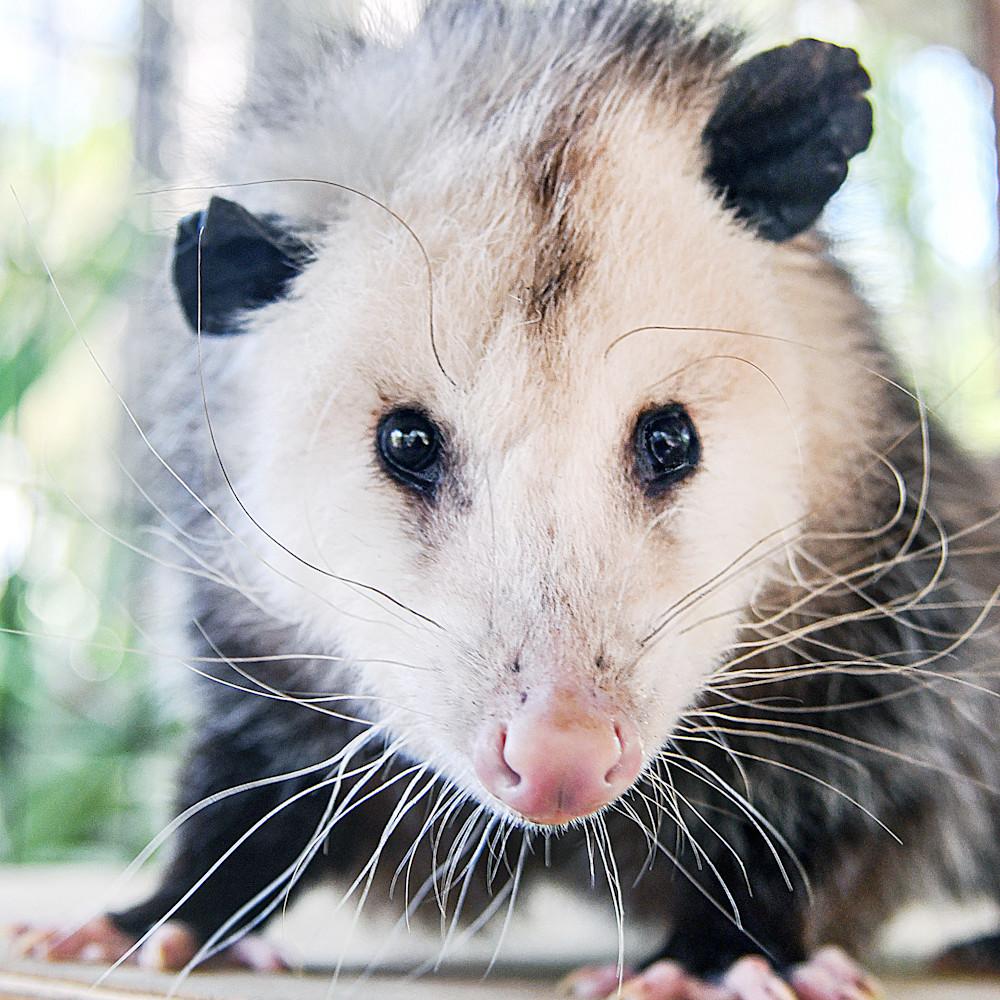 Baby possum x4zejk