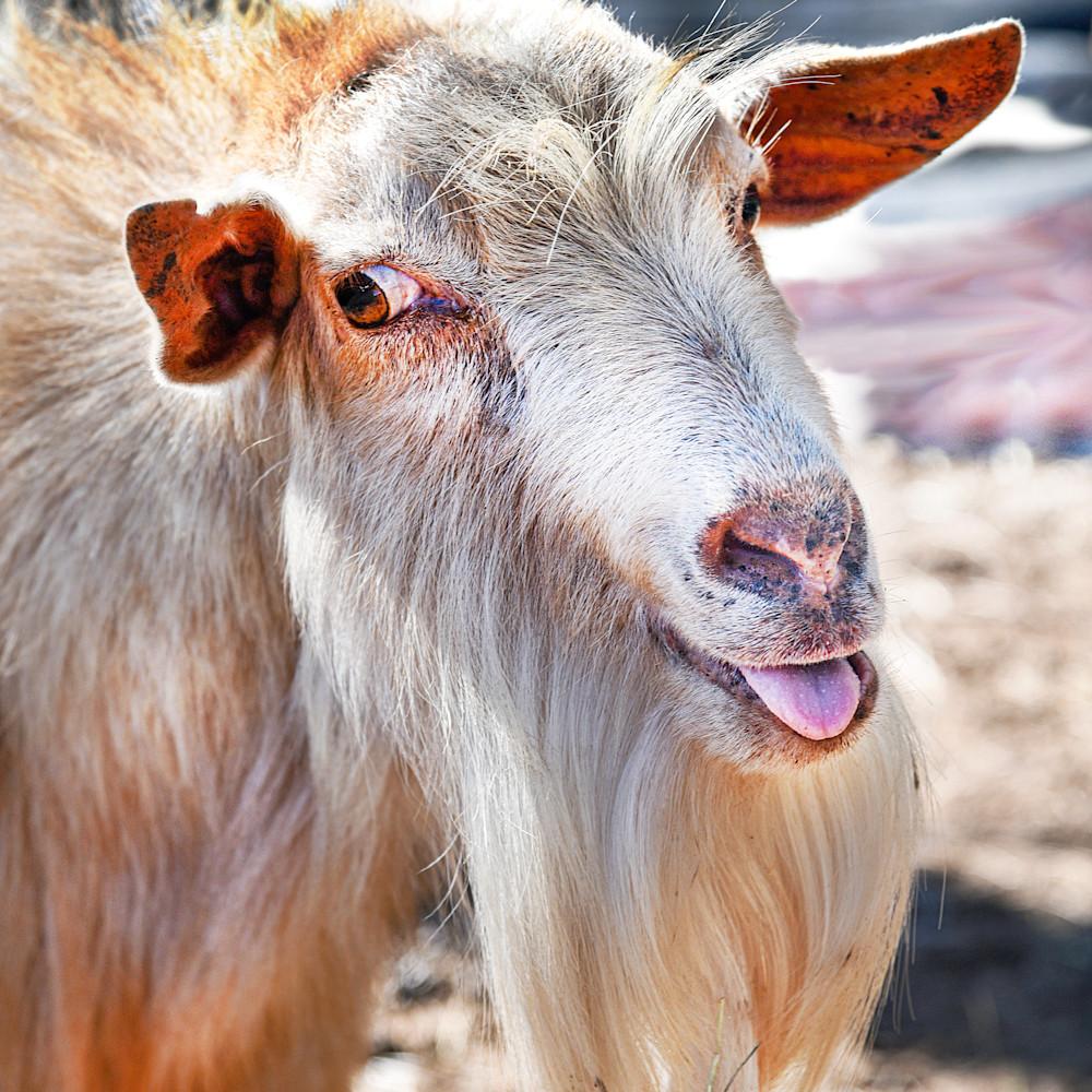 Old goat msiiur