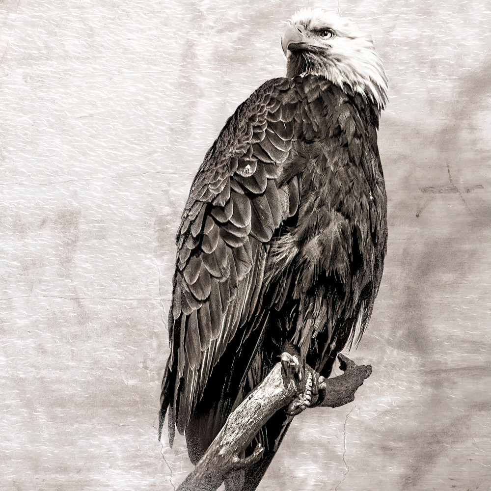 Bald eagle on textured background 1 of 1 w4zjab