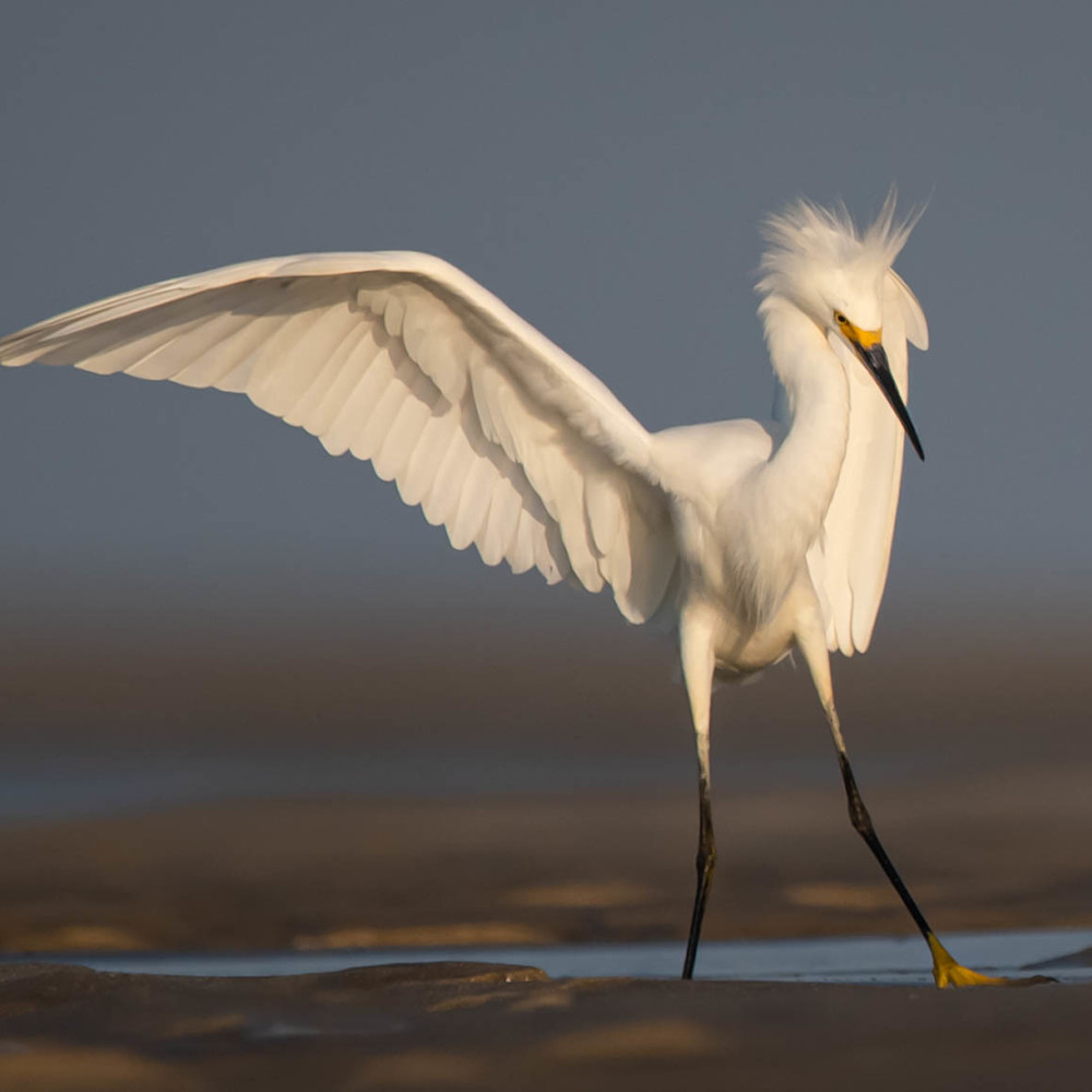 Snowy egret  flat unsigned ccz8he