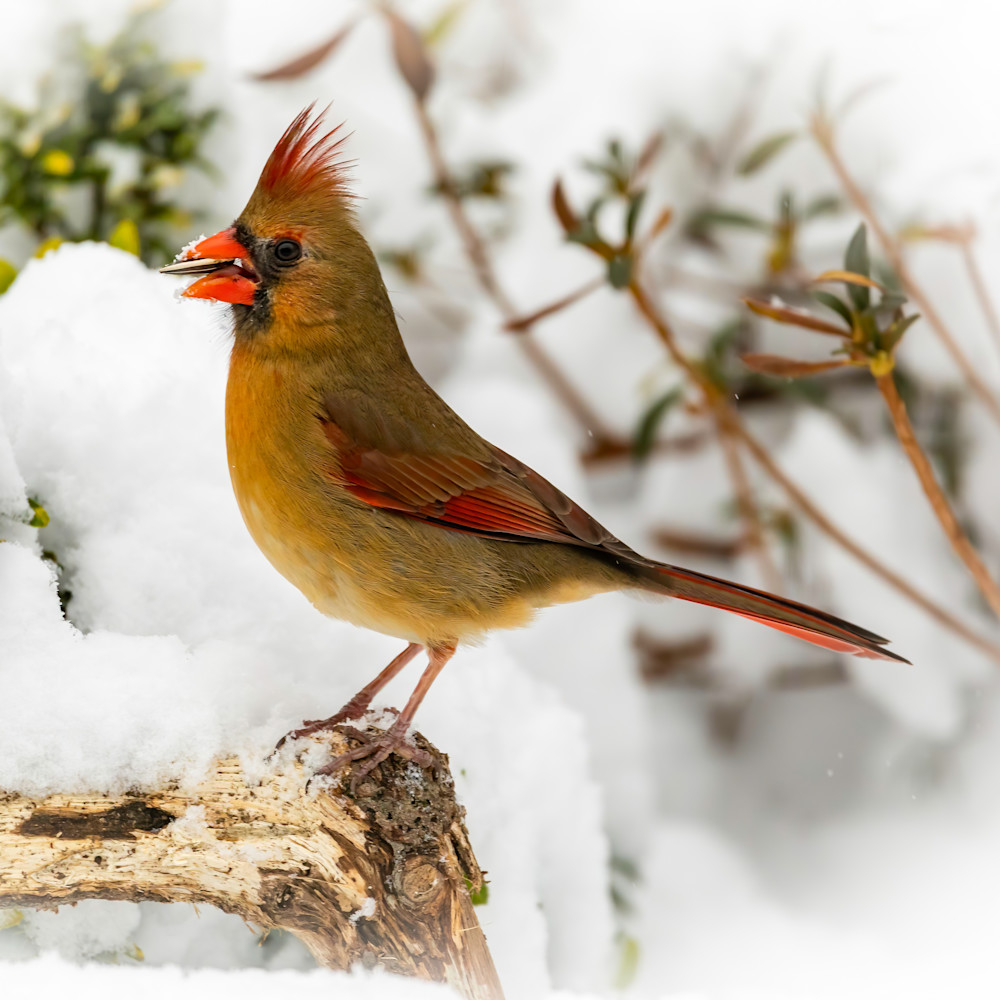 Female cardinal in snow with nut   square 1 of 1 kpnhpo