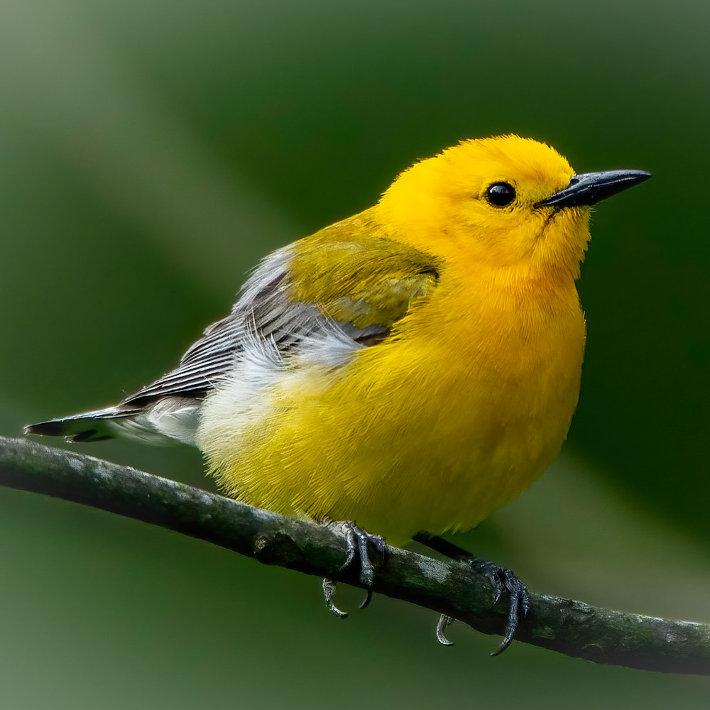 Prothonotary warbler on branch 2 1 of 1 n5i1eh