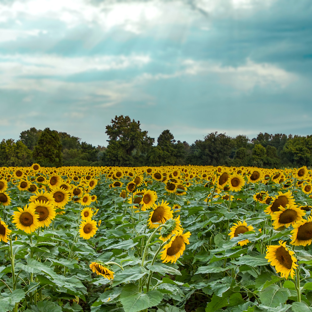 Sunbeams over sunflowers 1 of 1 yupvey