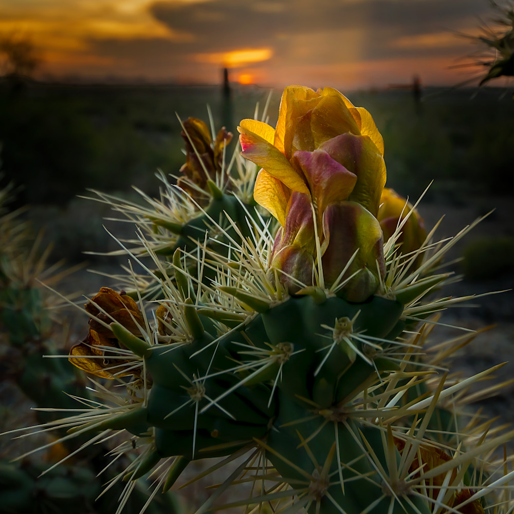 Desert rose 24x24 rvtagp