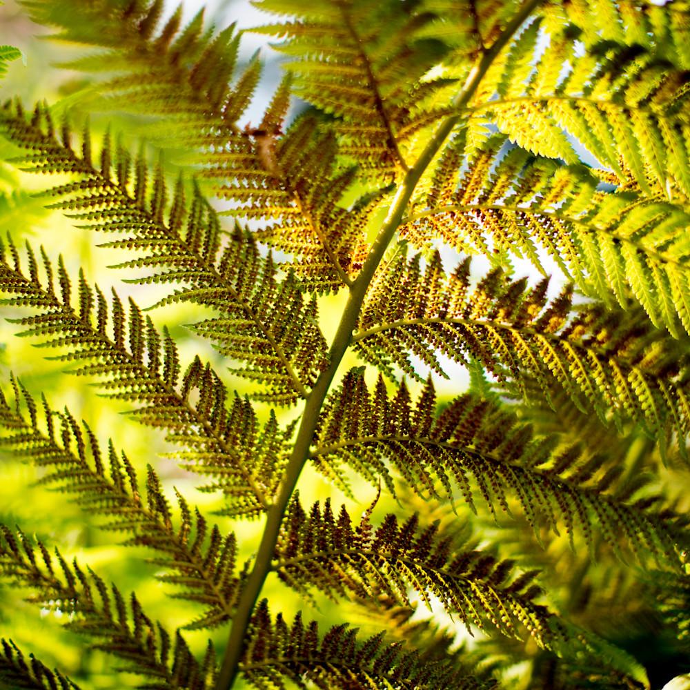 California fern bright lhb7pw