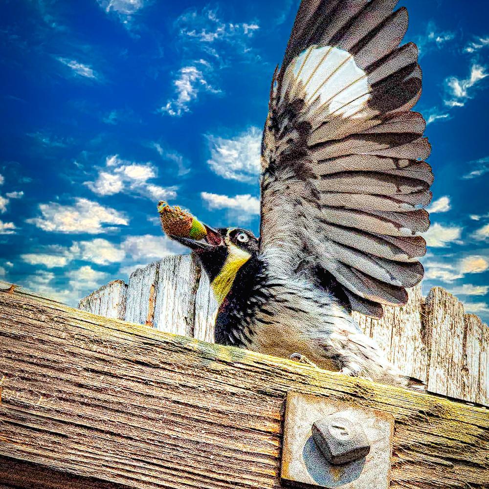 Acorn woodpecker xqz8q6