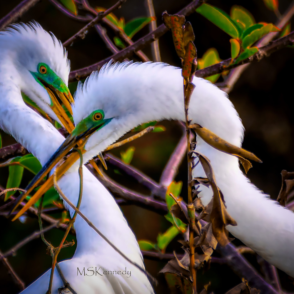 Two snowy igrets nest building 1 pi23gr