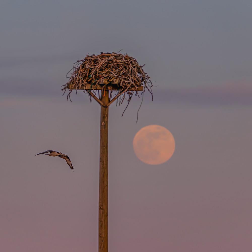 Oak bluffs osprey flight moon xibug4