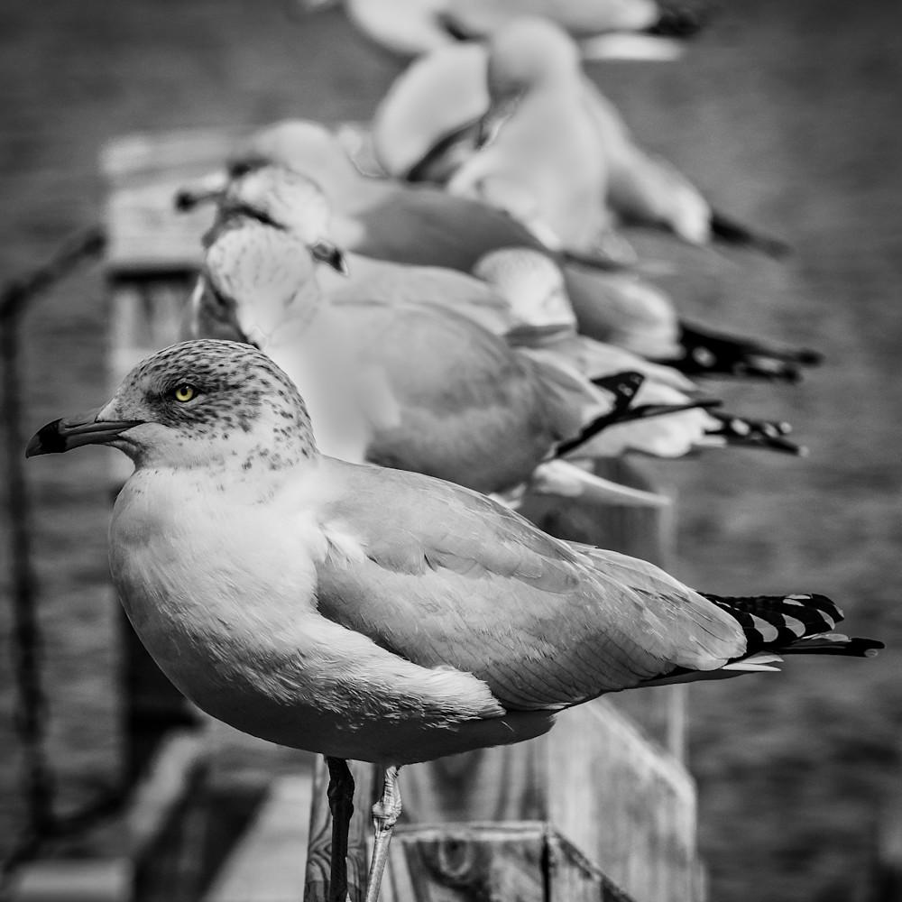 Seagull line up in bw vgfhl1