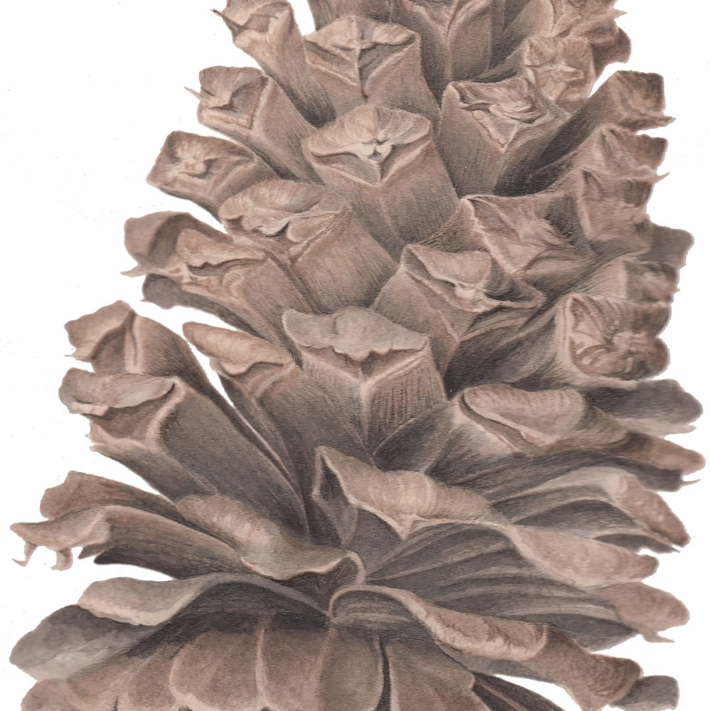 2021 07 05 long leaf pine cone ink wash transparent cropped very compressed scale 2 00x gigapixel siwfoo
