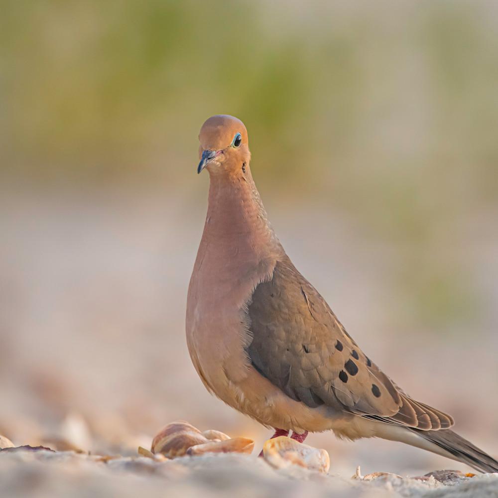 Mourning dove hearpx
