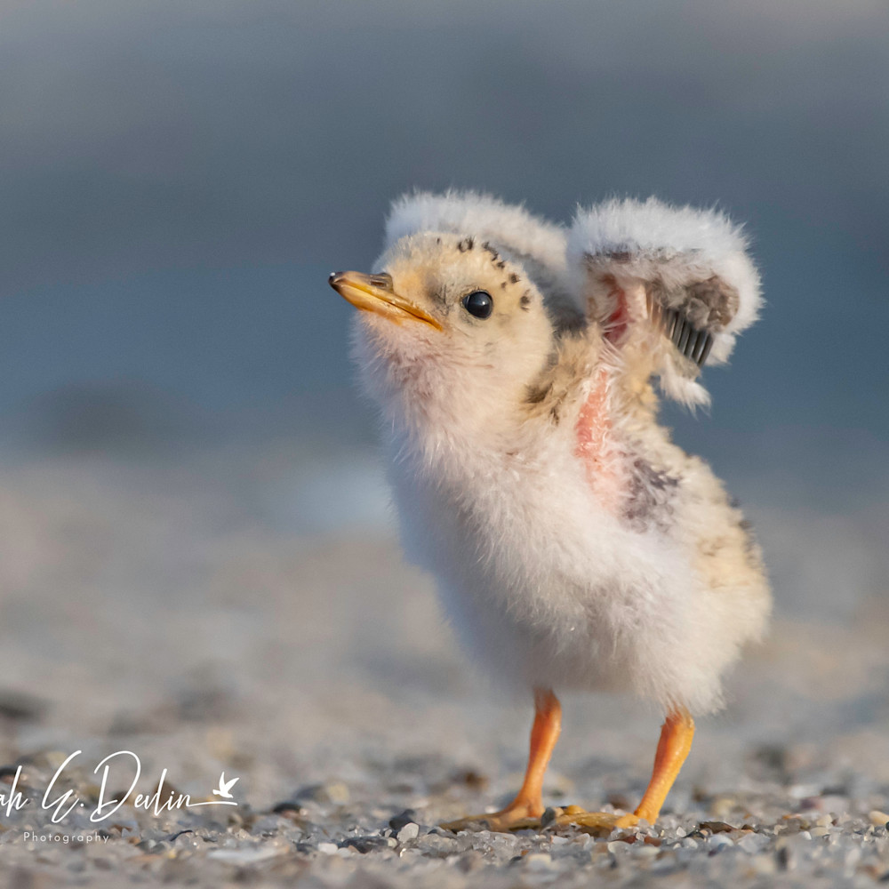 Least tern chick stretching wings signed x1mjmj