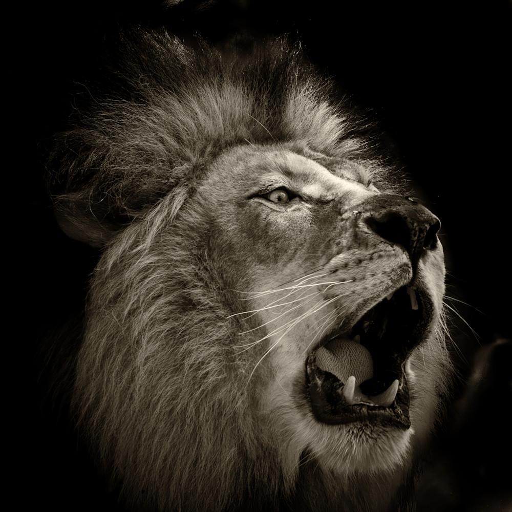 Roar of the lion b w bydz1x