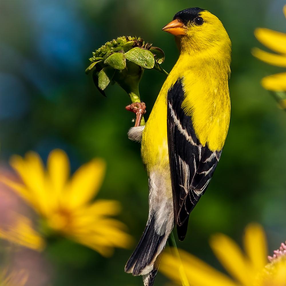 American goldfinch 4 1 qasbzp