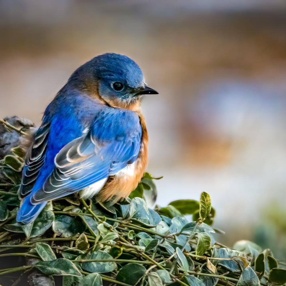 Eastern bluebird ybrrp2