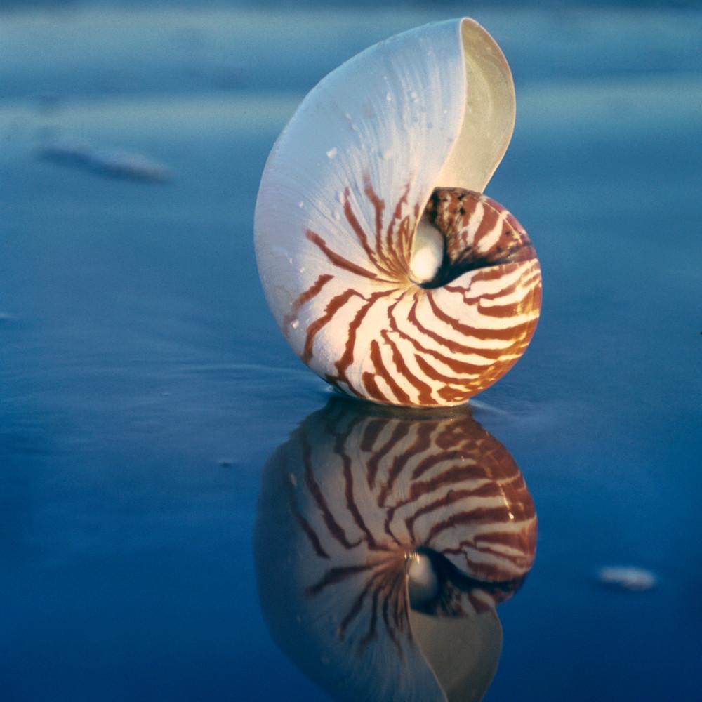 Tiger nautilus sea shell on the beach bu ruth burke art av9ihq