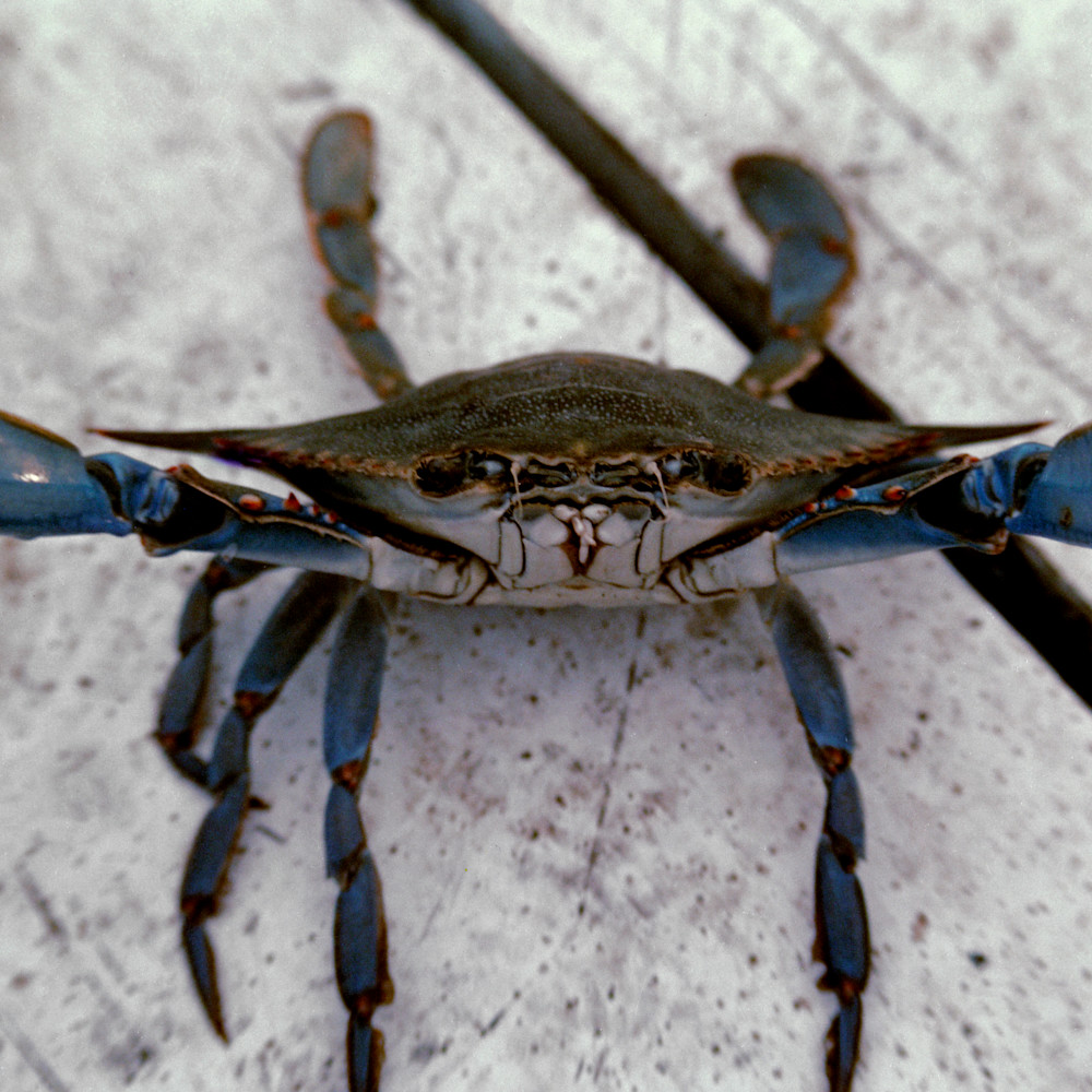 Blue crab by ruth burke art rzofy2