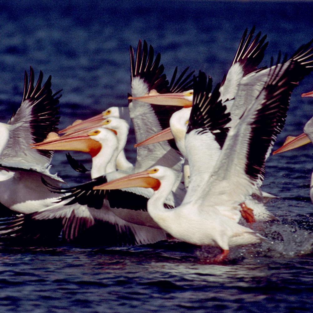 Flying pelicans   ruthburkeart mpn5zh