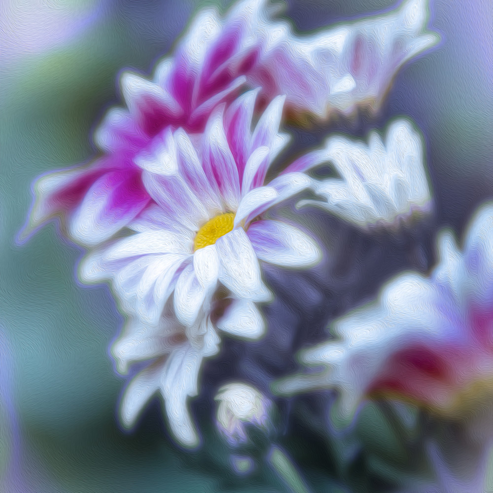 Pink and white daisy 1 ltawrp