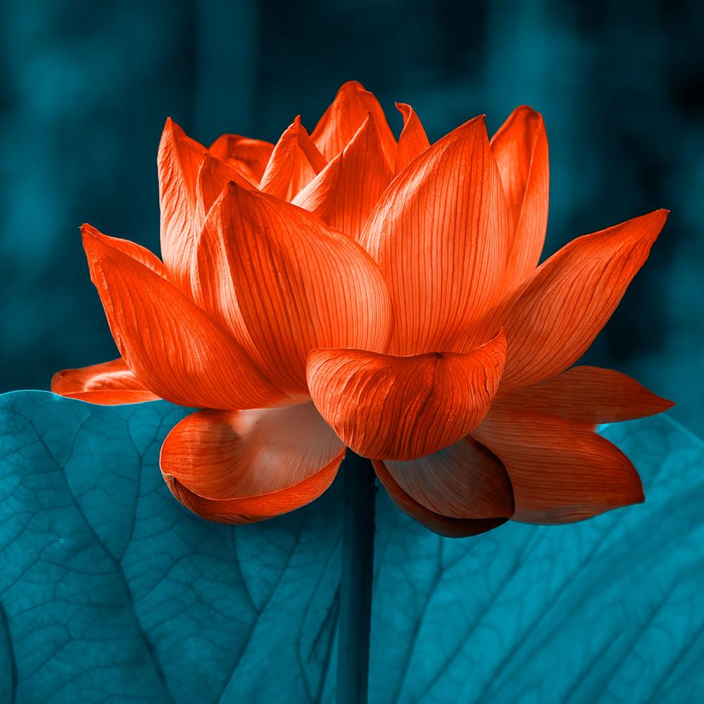 Lotus flower 3 rml1wb