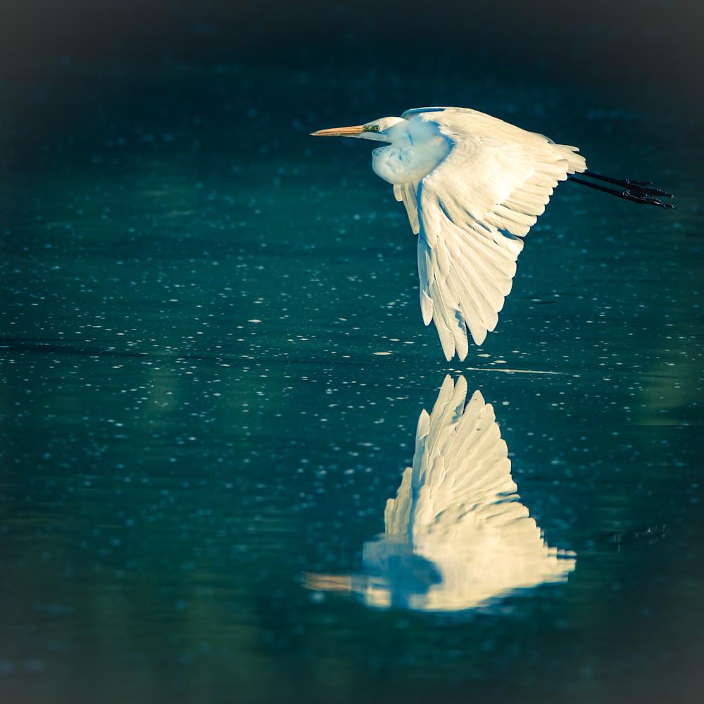 Great egret flying over marsh 1 kevsn6