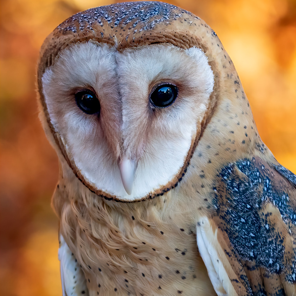 Barn owl portrait 1 fbadaw