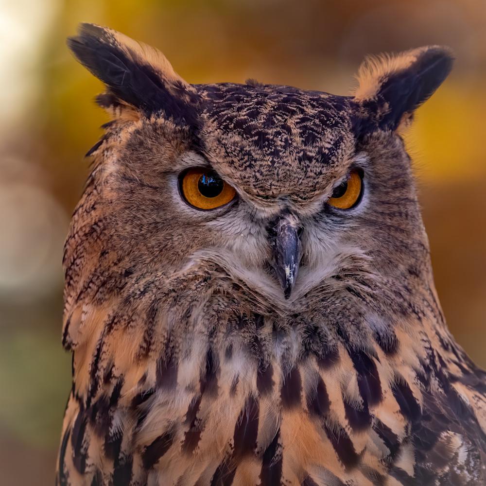 Great horned owl portrait 1 uot8d2