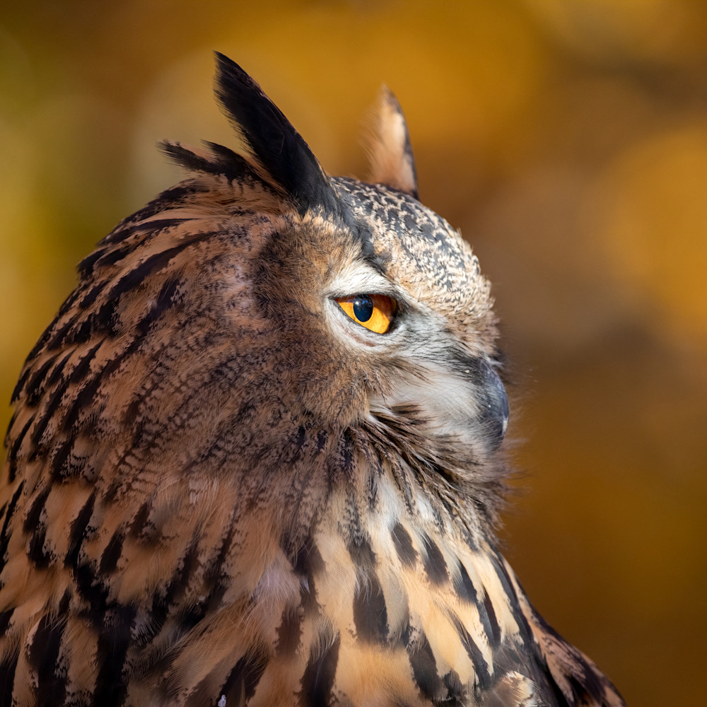 Great horned owl side portrait 1 iprf8f