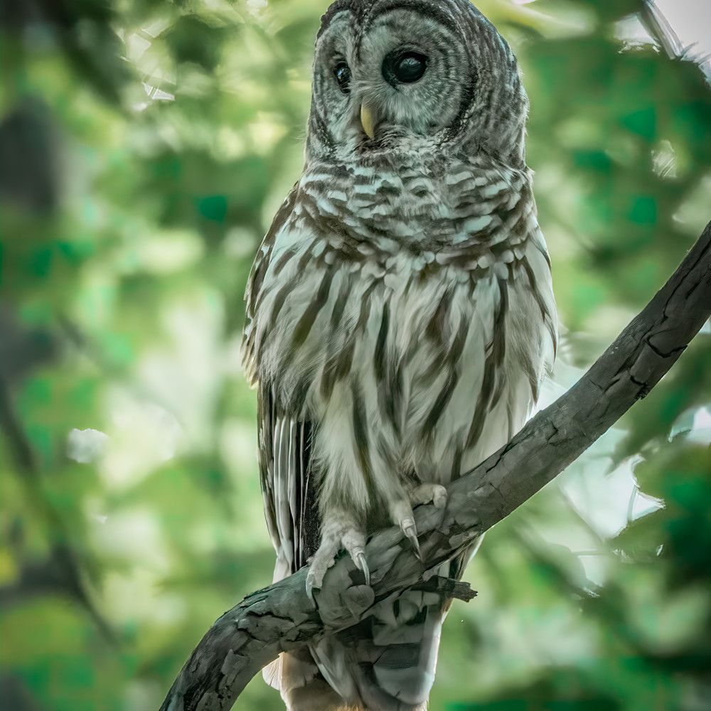 Perched barred owl 1 kzbnjz