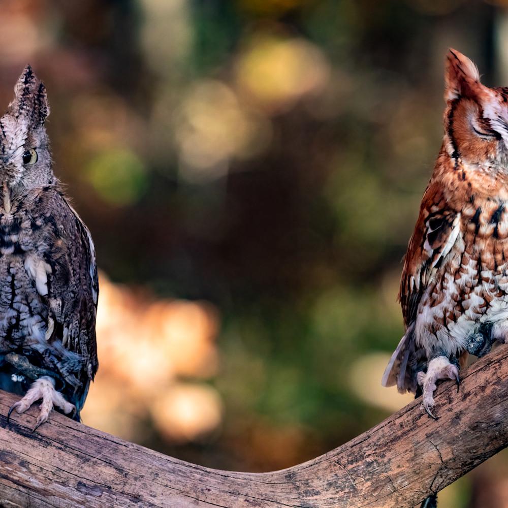 Eastern screech owl pair 1 hleujd