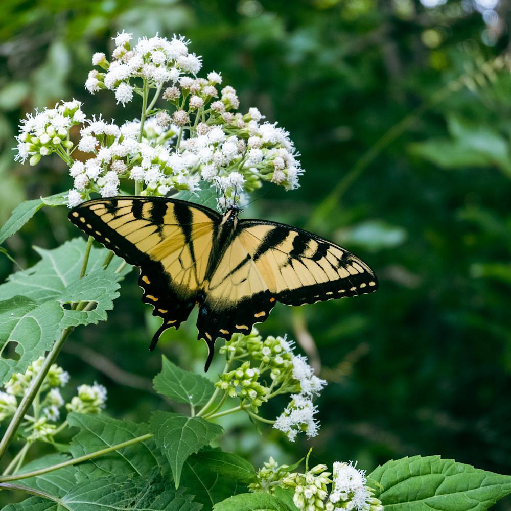 Tigerswallowtailbutterfly zgs3og