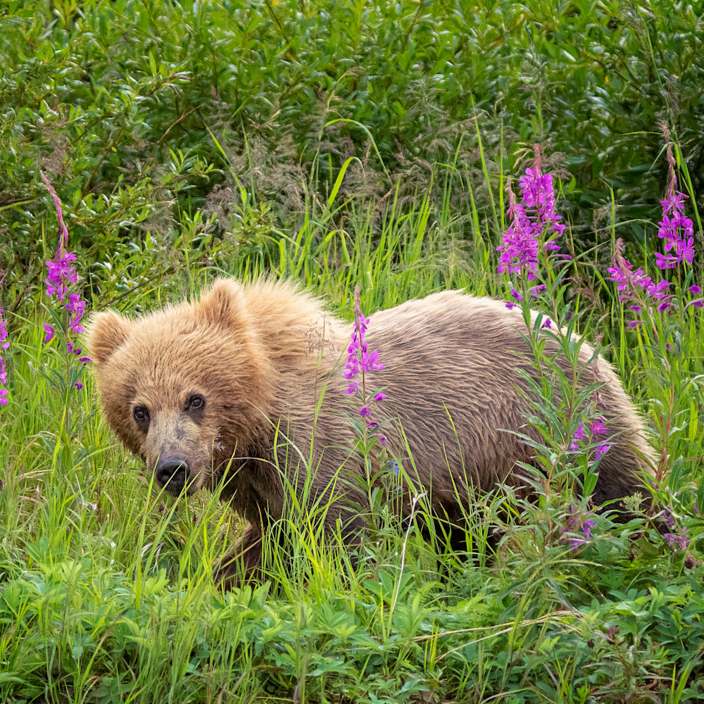 Bear cub in the fireweed bvz1ww